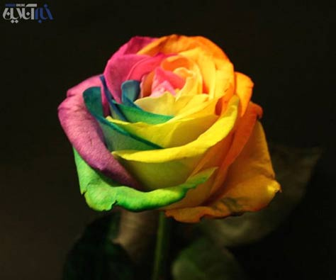 تصاویر فوق العاده زیبای گل های رز